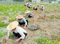 广西玉林:彩色马铃薯首种获丰收